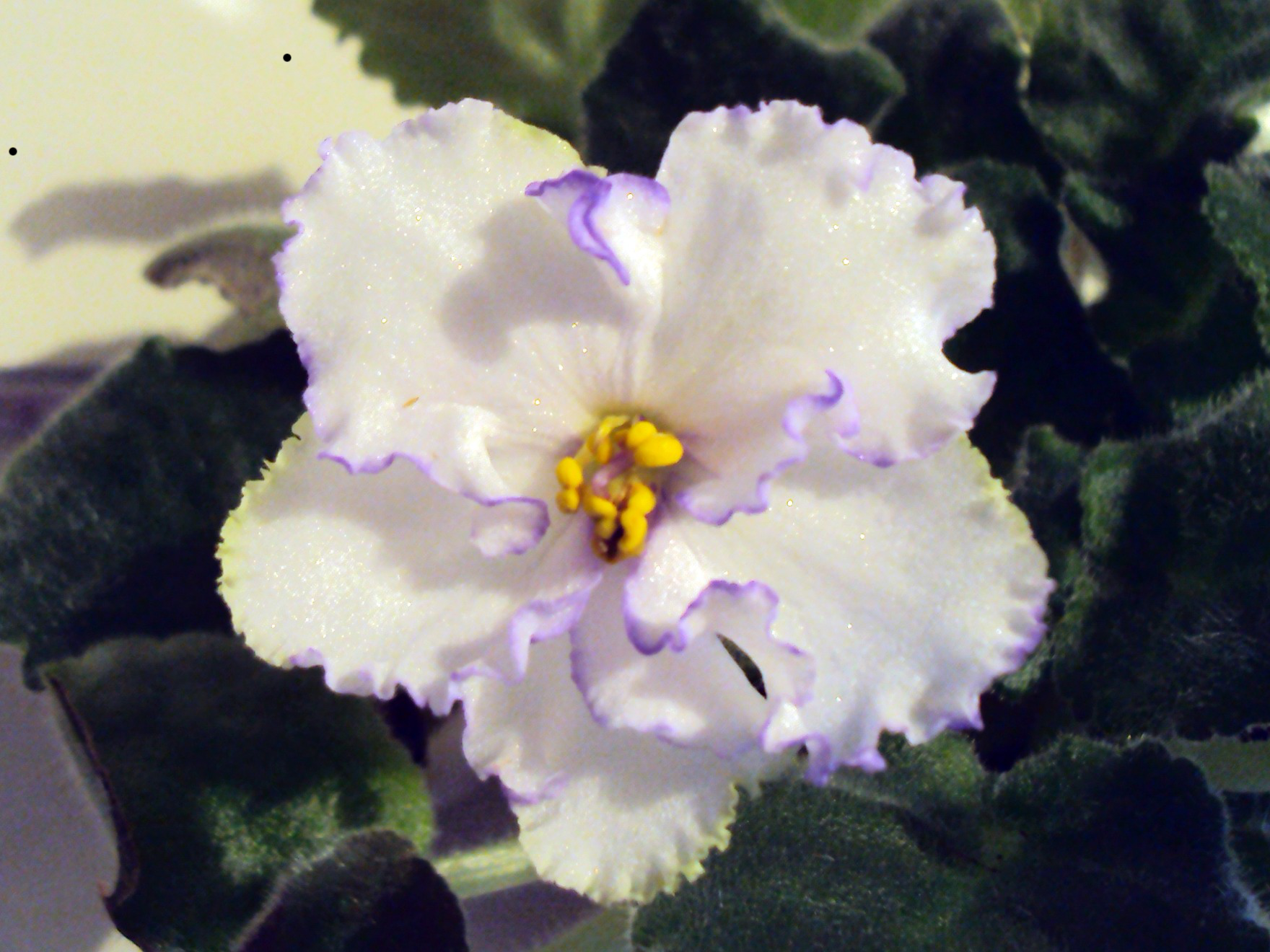 Chimera African Violets from Stem Tissue Culture ...
