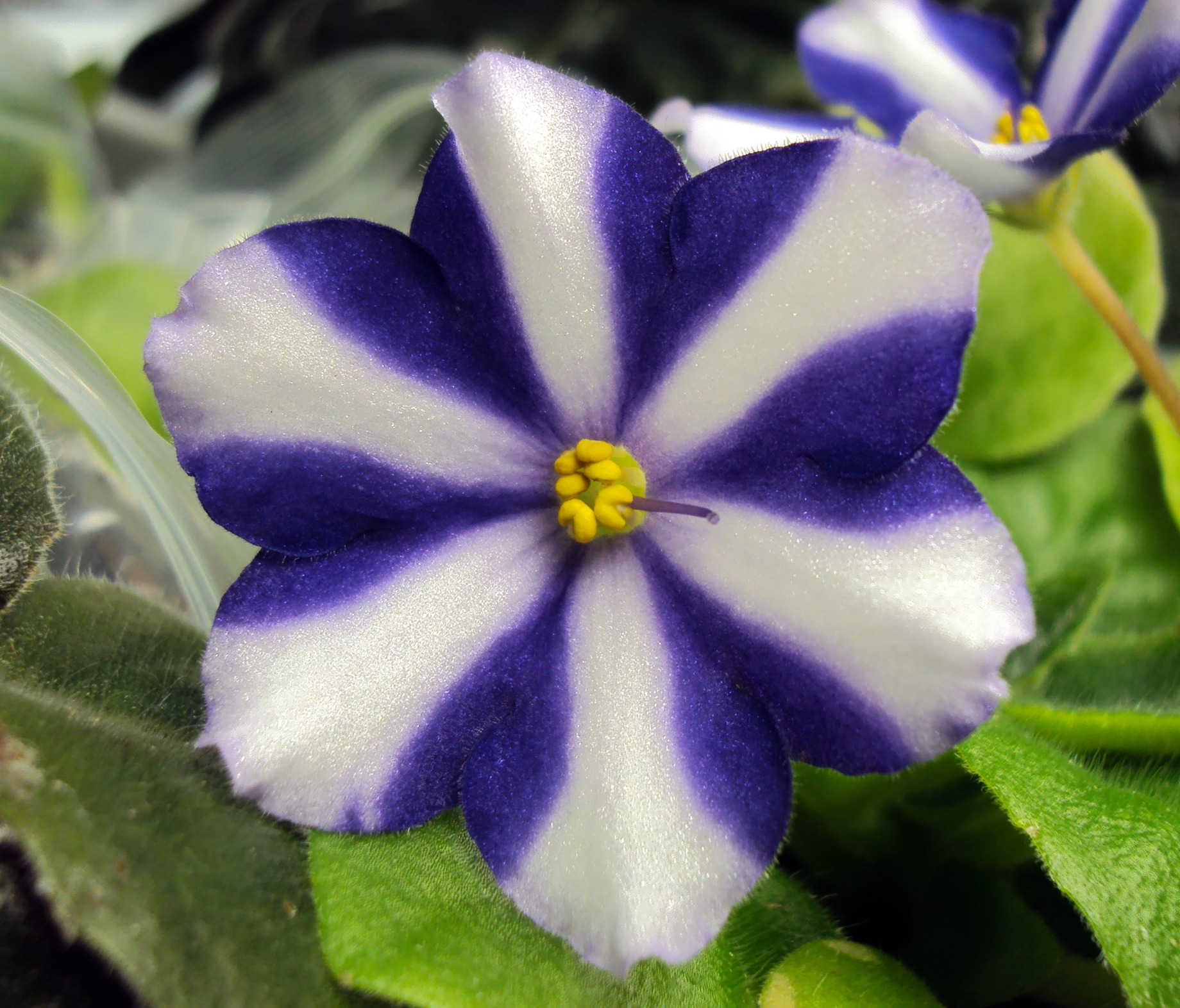 Six petal flowers on chimera african violets for Kinds of flowers with name and picture