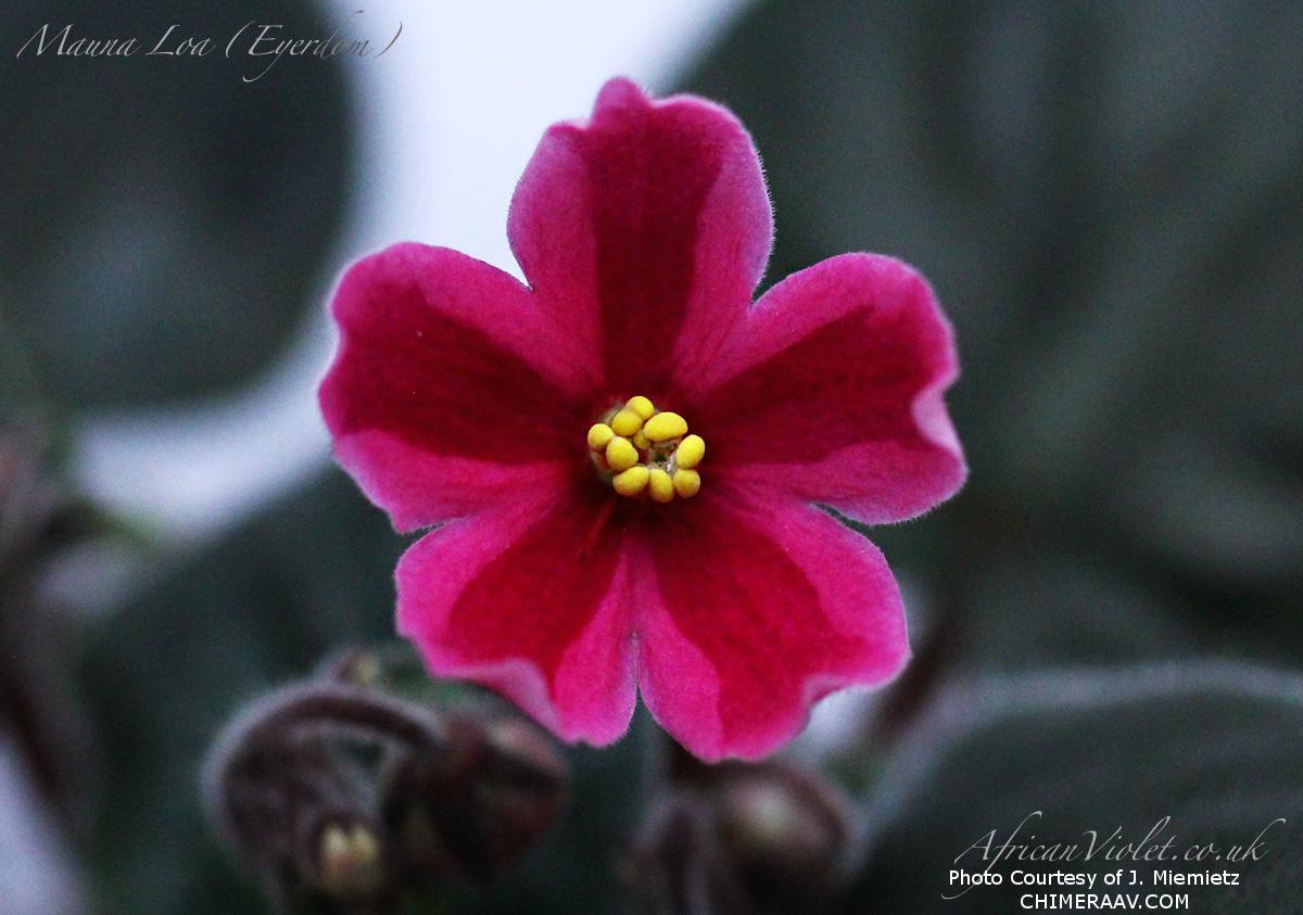 Chimera African Violets::chimeraav.com - Part 2