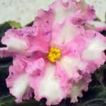 Carnation Sprinkles