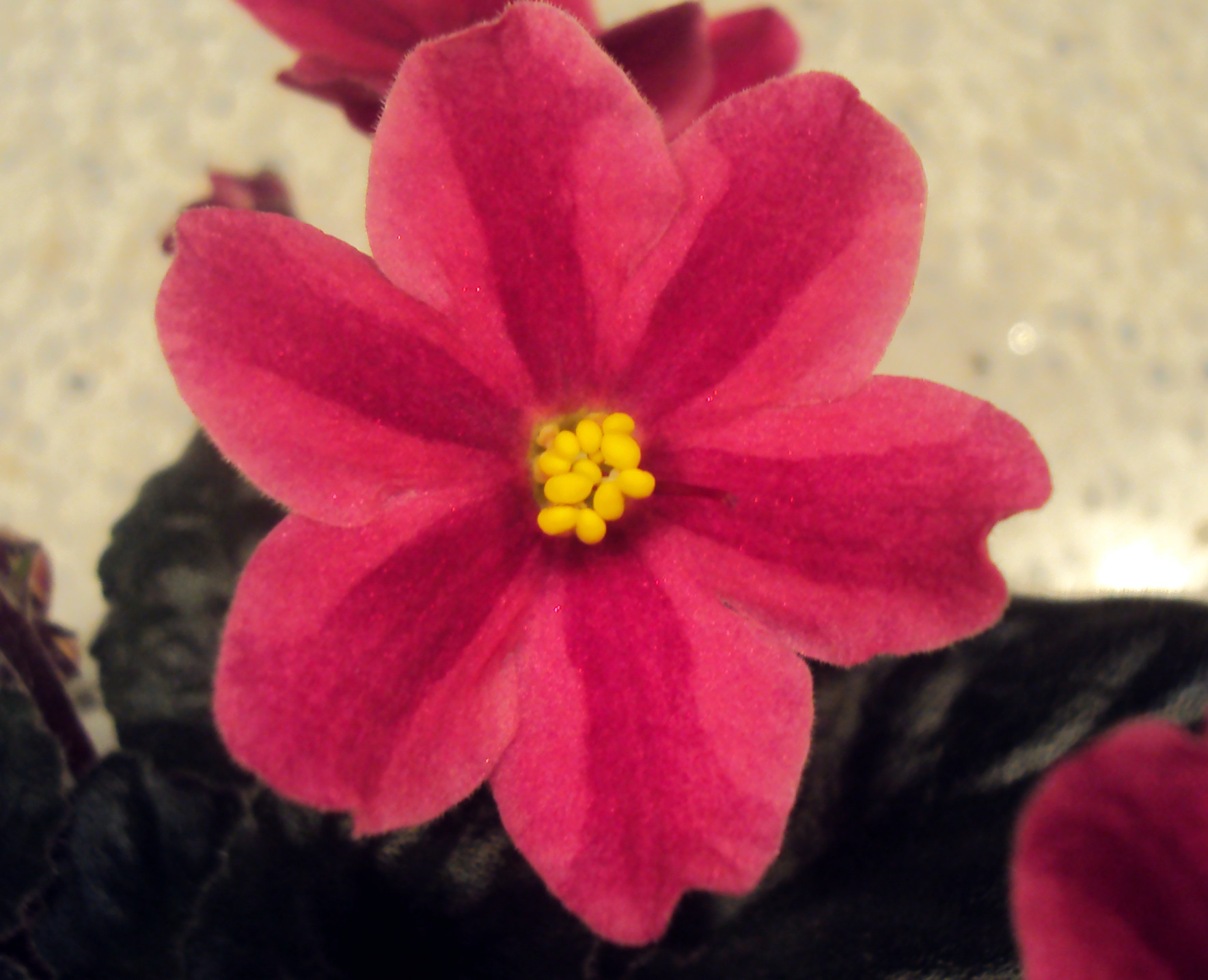 Six Petal Flowers On Chimera African Violets | chimeraav.com Red Violet Flowers