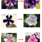 Chimera African Violets Gone Wrong  Document 4