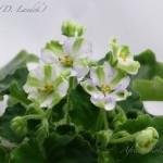 Shimai in bloom