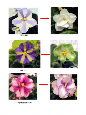 Chimera African Violets Reverting Page 6