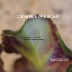 Chimera leaf