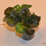 Leaf Chimera Proof 2