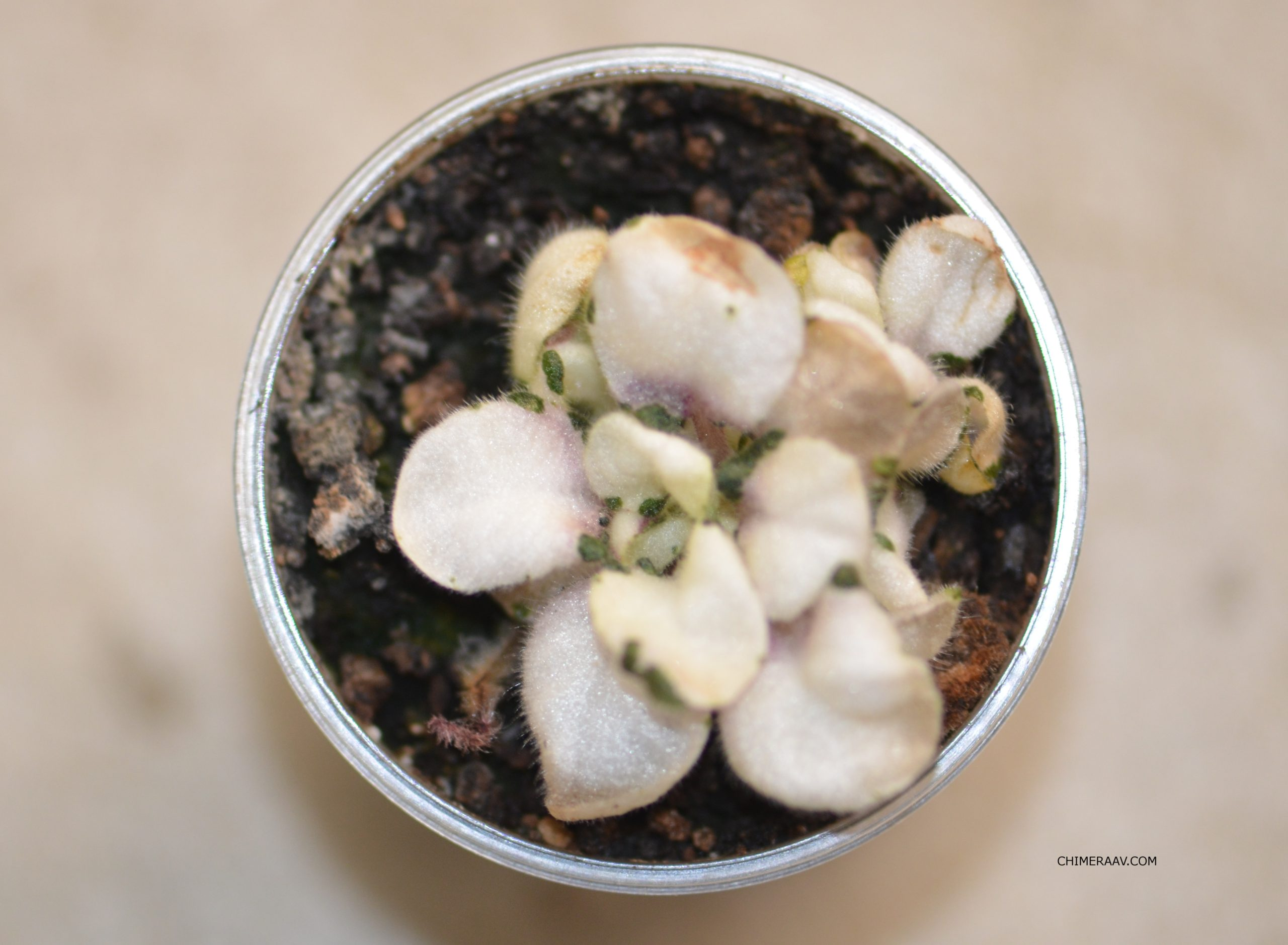 White African Violet4